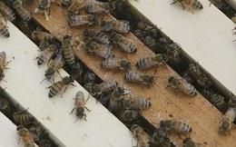 Mật ong Mỹ vẫn chứa bụi phóng xạ từ các vụ thử vũ khí hạt nhânnăm 1950