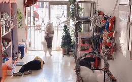 Đang tập thể dục lại thấy người bị ngất, chú chó husky có phản ứng gây ngỡ ngàng