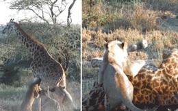 Kế hoạch săn mồi tuyệt đỉnh giúp bầy sư tử 'hạ sát' hươu cao cổ