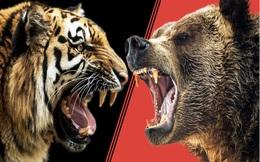 Hổ Siberia kịch chiến gấu xám Bắc Mỹ, con nào sẽ ăn thịt được đối thủ?