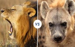 Vì sao linh cẩu giết sư tử?