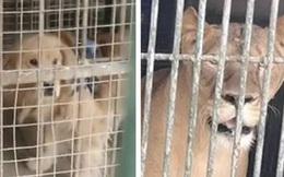 Sở thú lùa chó vàng vào chuồng rồi quảng cáo đấy là sư tử Châu Phi để thu tiền khách