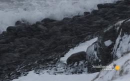 Cặp đôi cáo tuyết Bắc Cực hội ngộ trong cơn bão tuyết: Những hình ảnh làm lay động lòng người