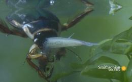 Bọ lặn - Kẻ gieo rắc nỗi sợ hãi cho những sinh vật bé nhỏ dưới nước: Nạn nhân chỉ biết phó mặc cho số phận