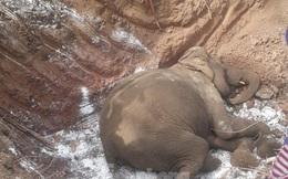 Thêm một cá thể voi nhà hơn 60 tuổi bị chết ở Đắk Lắk