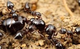 Vì sao kiến đi ngược chiều thường chụm đầu vào nhau?