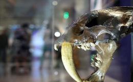 Mèo răng cưa: Kích thước khủng săn được cả tê giác