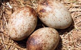 Mang ổ trứng nhặt được trong bụi cây về cho gà nhà ấp, hơn chục ngày sau, thứ được nở ra khiến người đàn ông toát mồ hôi hột