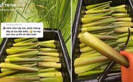 """Dân mạng thích thú khi phát hiện giống lúa đột biến """"siêu to khổng lồ"""", nhìn kỹ hoá ra là một đặc sản quen thuộc ở Việt Nam"""