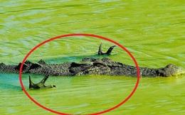 """Cá sấu có tư thế """"kỳ quái"""", chuyên gia nói gì?"""