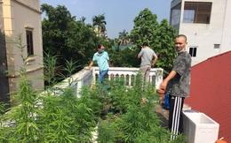 """Vụ vườn cần sa trên nóc một ngôi nhà ở Hà Nội: """"Ông chủ"""" khai trồng để ngâm rượu"""