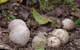 Thấy đống trứng nằm vùi trong đất nên hí hửng nhặt mang về nhà, vài ngày sau, thứ nở ra khiến người đàn ông vừa nhìn đã sợ xanh mắt