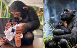 """Chùm ảnh những cái ôm ấm áp của tinh tinh cho thấy động vật cũng có """"tình thân"""""""