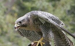 1001 thắc mắc: Loài chim nào tinh mắt nhất thế gian, có thể bay 322km/giờ?