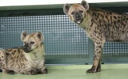 Hàn Quốc tặng Nhật Bản cặp linh cẩu nhưng suốt 2 năm chúng không giao phối: Các chuyên gia 'đứng hình' khi thấy ảnh siêu âm!
