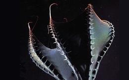 Vampyroteuthis infernalis: Loài 'ma cà rồng' dưới đáy biển sâu