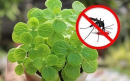 Với vài chục nghìn trong tay, cứ chọn mua 7 loại cây cảnh này đảm bảo muỗi sợ hãi tránh xa nhà bạn