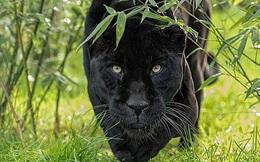 Báo đen khổng lồ bất ngờ xuất hiện ở vùng nông thôn nước Anh