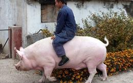 """Trung Quốc: Lợn """"to như con bò"""" gây ra cú sốc giá làm vỡ mộng nhiều trang trại quy mô lớn"""