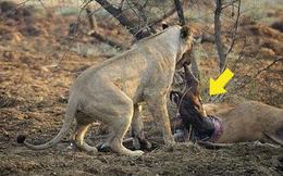 Sư tử phát hiện con mồi mình ăn thịt đang mang thai: Hành động tiếp theo của nó khiến du khách chết lặng!
