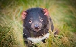Quỷ Tasmania xuất hiện trở lại lục địa Australia sau 3.000 năm
