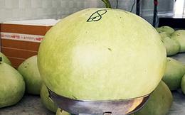 Trồng giống bầu khổng lồ nặng tới 12kg, bán 1 triệu/kg sợi khô
