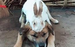 Mua 1 con thỏ về nhà rồi thử nhốt chung với chó cưng, cảnh tượng xuất hiện sau đó khiến chủ nhân kinh ngạc