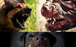Top 5 loài chó nguy hiểm nhất thế giới, Pitbull vẫn chưa phải là kẻ mạnh nhất