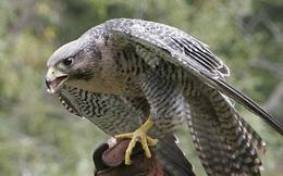 """""""Choáng"""" với loài chim tinh mắt nhất, có thể bay 322 km/giờ"""