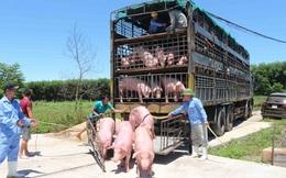 Phát hiện dịch tả châu Phi trong lô lợn Thái Lan 980 con, Việt Nam ngừng nhập khẩu