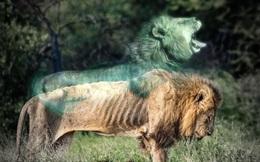 Chùm ảnh: Khoảnh khắc cuối đời của vua sư tử Skar từng ngự trị đồng cỏ Nam Phi