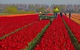 24h qua ảnh: Nông dân thu hoạch hoa tulip trên cánh đồng
