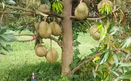 Cây sầu riêng thấp lè tè nhưng ra quả như 'con đàn cháu đống', dân mạng Việt ùa vào đòi… bứng nguyên gốc về nhà trồng!