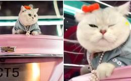 Chú mèo chuyên nằm nóc xe hơi chỉ chơi với ngủ nhận 50 triệu đồng/ buổi giúp ''sen'' đổi đời