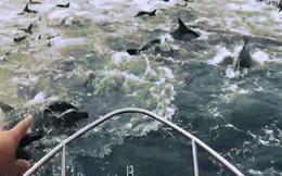 Kinh ngạc lý do 2.000 con cá heo chia làm 2 siêu đàn phối hợp gây náo loạn một vùng biển