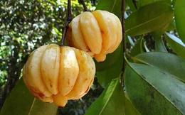 Một loại quả ''gia vị'' quen thuộc của Việt Nam nhưng nhiều người không hề biết, lại còn tưởng nhầm là quả ổi