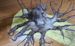 Bắt được con bạch tuộc bước ra từ phim kinh dị với 32 xúc tu, gấp 4 lần đồng loại thông thường