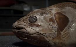 Loài cá biển sâu này có tuổi thọ còn cao hơn con người, đến tuổi 45 mới trưởng thành