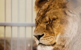 Sư tử Ấn Độ đột nhiên lăn ra chết, kết quả xét nghiệm khiến người ta phải đau lòng