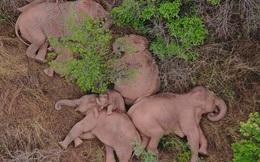 Rời khu bảo tồn chu du 500km, gây thiệt hại 1,1 triệu USD, đàn voi bất trị đã chịu dừng chân lại một thị trấn nhỏ