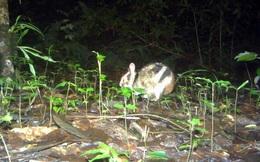 Loài thỏ vằn bị đe dọa toàn cầu được phát hiện cách Đà Lạt 20km