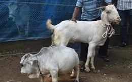 Chiêm ngưỡng chú bò nhỏ nhất thế giới, được chủ thuê 3 nhân viên bảo vệ, chăm sóc