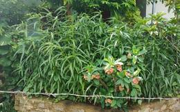 Một hộ dân trồng cả trăm cây cần sa trong vườn nhà