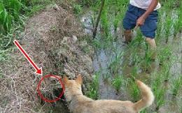 """Thấy chó sủa liên tục trước 1 cái hang ở bờ mương, người nông dân thò tay vào mò thử, không ngờ bị """"phản đòn"""" trong tích tắc"""