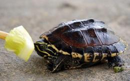 Cảnh báo nuôi rùa làm cảnh rước bệnh vào thân