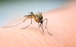 """Muỗi hút máu """"bợm nhậu"""" thì có bị say không?"""