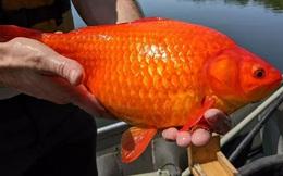 Cá vàng khổng lồ đang chiếm lĩnh các hồ ở Mỹ, phá hủy môi trường