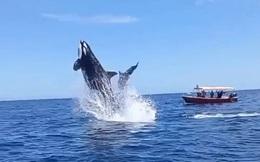 Ngoạn mục cảnh cá voi sát thủ hất tung cá heo lên không trung