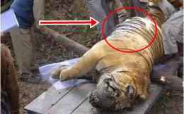 Phát hiện xác con hổ chết bên hồ có phần bụng bất thường, mổ ra kiểm tra, những gì nhìn thấy khiến nhóm người chết lặng