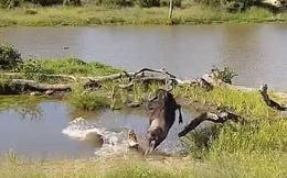 Linh dương đầu bò thoát chết ngoạn mục sau cú tấn công bất ngờ của cá sấu